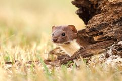 Tiny predator. Adorable wild stoat in nature Stock Image