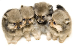 Tiny Puppies!!! Royalty Free Stock Photography