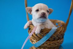 Tiny puppy Royalty Free Stock Images
