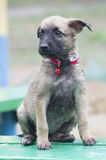 A tiny puppy of Belgian shepherd. `Malinois` sitting on a Park bench in the rain Royalty Free Stock Image