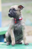 A tiny puppy of Belgian shepherd. `Malinois` sitting on a Park bench in the rain Stock Photos
