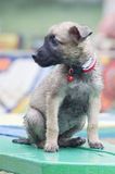 A tiny puppy of Belgian shepherd Royalty Free Stock Photos
