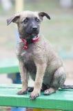 A tiny puppy of Belgian shepherd Stock Photography