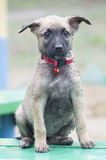 A tiny puppy of Belgian shepherd. `Malinois` sitting on a Park bench in the rain Stock Photography