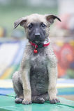 A tiny puppy of Belgian shepherd. `Malinois` sitting on a Park bench in the rain Stock Photo