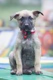 A tiny puppy of Belgian shepherd Stock Photo