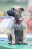 A tiny puppy of Belgian shepherd Stock Image