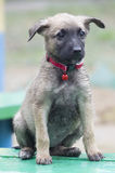 A tiny puppy of Belgian shepherd Royalty Free Stock Photo