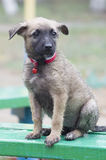 A tiny puppy of Belgian shepherd. `Malinois` sitting on a Park bench in the rain Royalty Free Stock Images