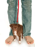 Tiny puppy and big feet. Tiny chihuahua puppy standing at his boss' large feet Stock Image