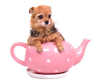 Tiny puppy inside the tea pot Royalty Free Stock Photo