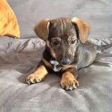 Tiny puppy royalty free stock image