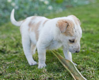 Tiny puppy playing in the garden. A very young puppy playing with a palm frond in the garden Royalty Free Stock Image