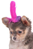 Tiny Puppy wearing a funny hat Stock Image
