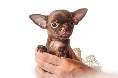 Tiny puppy in womans hand. Tiny Chihuahua puppy in white dress in womans hand looking in camera Royalty Free Stock Images