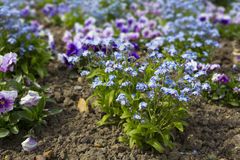 Tiny purple and blue flowers in a garden border Royalty Free Stock Photos