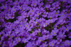 Tiny Purple Flowers. Thick group of purple small spring flowers in the garden Royalty Free Stock Photos