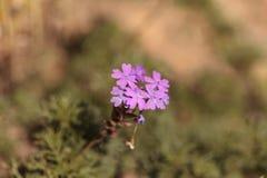 Tiny purple Lantana flowers Stock Images