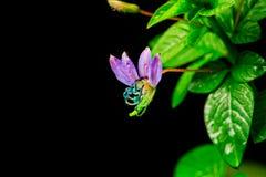 Tiny purple lilac flower Royalty Free Stock Photos