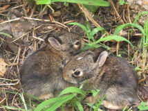 Tiny Rabbits. Right after their eyes were open Royalty Free Stock Image