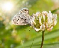 Tiny Reakirt's Blue butterfly Royalty Free Stock Photo