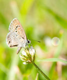Tiny Reakirt's Blue butterfly Royalty Free Stock Photography