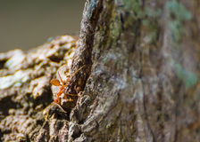 tiny red ant explore around tree's bark Royalty Free Stock Images