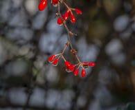 Tiny red berries of Berberis thunbergii Atropurpurea against the bokeh background. royalty free stock photos