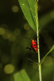 Tiny Red And Black Long Horn Grasshopper Royalty Free Stock Images
