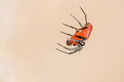 Tiny Red and Black Spider. Hanging from a Web Royalty Free Stock Photos
