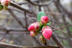 Tiny red buds. New red buds on hedge Royalty Free Stock Photos