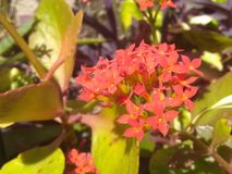 Tiny Red Flowers with green leaves. In the noon time light royalty free stock image
