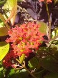 Tiny Red Flowers with green leaves. In the noon time light royalty free stock photo