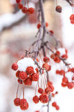 Tiny red fruits with snow Royalty Free Stock Image