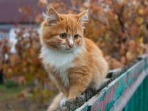 Tiny red kitten Stock Image