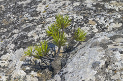 Tiny relict Crimean pine. Tiny relict Crimean pine on the rock Royalty Free Stock Images