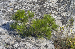 Tiny relict Crimean pine. Royalty Free Stock Photo
