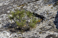 Tiny relict Crimean pine. Stock Photography