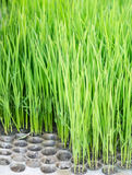 Tiny rice saplings Stock Images