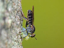 Tiny Robberfly with Prey Royalty Free Stock Photography