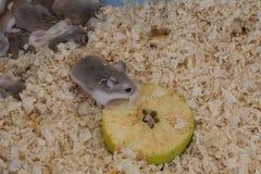 Tiny Roborovski dwarf hamsters for sale as pets in street market, one eating apple. Aka Robo, desert hamster. Cute. stock photos
