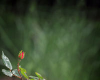 Tiny rosebud border Royalty Free Stock Image