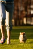 Tiny Runner. Tiny Pomeranian puppy running beside his owner on a grassy lawn Royalty Free Stock Photo