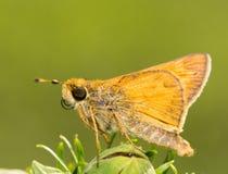Tiny Sachem Skipper butterfly Stock Photos