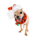 Tiny santa dog Stock Photo