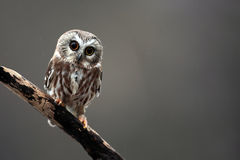 Tiny Saw-Whet Owl royalty free stock images