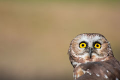 Tiny saw-whet owl. Closeup of a saw-whet outdoors Stock Photography