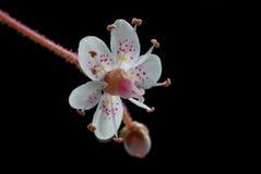 Tiny saxifrage flower close-up Royalty Free Stock Photos