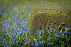 Tiny scilla flowers blooming next to a milestone. Landscape of a blue scilla flower field genus scilla with an old and weatered milestone by the roadside Royalty Free Stock Images