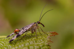 Tiny scorpion fly. Sitting on a green leaf Stock Photos